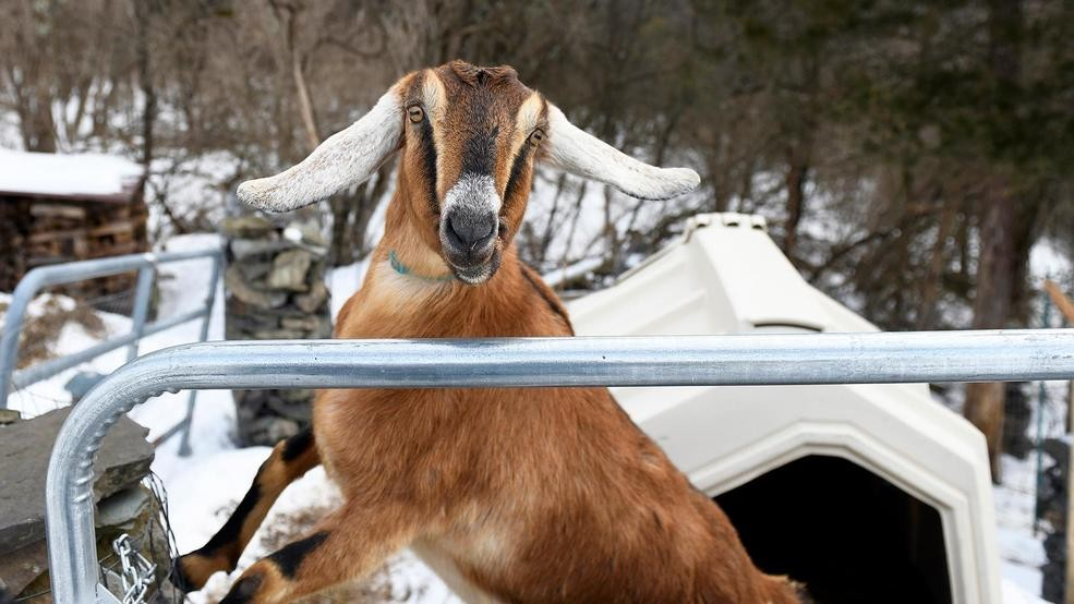 A nanny state? Vermont town elects goat as honorary mayor | WEYI